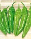 【野菜の種】【とうがらし種子】【ジャンボトウガラシ】 福耳(ふくみみ) (サカタのタネ)500粒