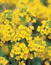 【菜の花(ハナナ)】寒咲系混合 (サカタのタネ)  小袋(2ml) 花の種 サカタ 種