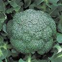 ブロッコリー種子 野崎採種場 晩緑(おくみどり)99W 20ml