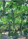 【四種普通便で送料無料】【キュウリ種子】 パイロット103 350粒 (ときわ研究所)【野菜の種】 【02P03Dec16】