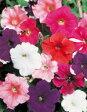 花の種 【ペチュニア】カラーパレード(サカタのタネ) 小袋(0.05ml)【花 サカタ 種】 【02P03Dec16】