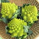 野菜の種【カリフラワー種子】スパイラル ロマネスコ (渡辺農事) 小袋 [ガーデニング 野菜 珍しい 種] 【02P03Dec16】