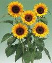 【花の種】【ひまわり】F1サンリッチマンゴー50 1000粒(タキイ種苗)[453462][02P05Dec15] [02P26Mar16]