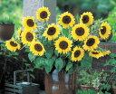 花の種 【ひまわり】F1サマーサンリッチパイン45 1000粒 (タキイ種苗) 【02P03Dec16】