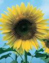 花の種【花種子】【ひまわり】食用ひまわり(サカタの種) 小袋(15粒)【花 種】【サカタ 種】 [02P26Mar16]