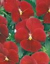 【パンジー】 【中小輪系】 よく咲くスミレクランベリー 500粒(プライマックス種子) (サカタのタネ)