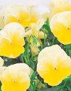 【パンジー】 【中小輪系】 よく咲くスミレ レモネード 500粒(プライマックス種子) (サカタのタネ)