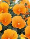 【パンジー】 【中小輪系】 よく咲くスミレ マーマレード 500粒(プライマックス種子) (サカタのタネ)