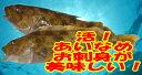 「アイナメ 約600g 1尾 約30cm」活魚神経〆!お刺身...