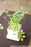 蔵王の新鮮ハーブシリーズ専門農家から新鮮なハーブを直送!soup celery/White cube Potスープセロリ・ホワイトキューブアレンジインテリア/観葉植物/キッチン/料
