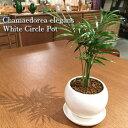 【送料無料】テーブルヤシ 鉢植え 高さ15cm程度 観葉植物...