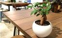 【送料無料】 初夏から育てる、多幸の木、ガジュマルと暮らす。 自分で育てる、インテリア。 観葉植物 ...