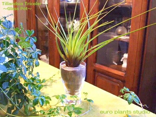 【送料無料】 エアープランツ トリコロール デザイン グラス【エアプランツ 種類 ギフト 観葉植物 ガラス ミニ インテリア 誕生日 人気】