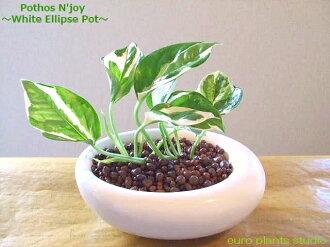 ポトス 감상/화이트 イリプス/하이드로 컬쳐/관 엽 식물