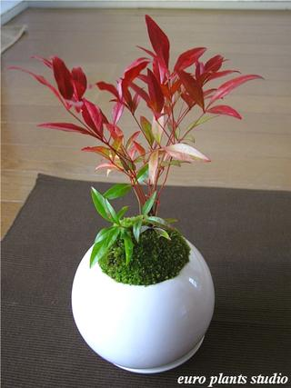 送料無料南天盆栽コケ高さ15cm程度受皿付き白丸陶器インテリア観葉植物鉢植え風水