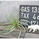 【いなざうるす屋 フェイクグリーン】ティランジアB【Lサイズ】 壁飾り 壁掛けインテリア 観葉植物 ウォールデコレーション 緑 壁掛け インテリア イミテーショングリーン 模様替え 癒し プレゼント 引越し 一人暮らし 祝い ギフト