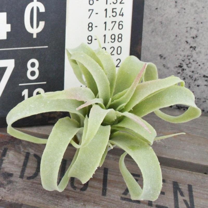 【いなざうるす屋 フェイクグリーン】くるりんティランジア グリーン 壁飾り 壁掛けインテリア 観葉植物 ウォールデコレーション 緑 壁掛け インテリア イミテーショングリーン 模様替え 癒し プレゼント 引越し 一人暮らし 祝い ギフト