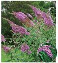 ブッドレア(フジウツギ)紫色花 香りよし 植木 庭木 苗木 ...