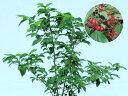ハクサンボク(白山木)白花 紅葉 植木 庭木 苗木 花木 常緑低木