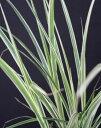 【スーパーSALE特価】 ススキ・シマススキ(縞薄 大株) グラスガーデン 植木 庭木 花壇 多年草