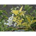 【クーポンで150円OFF】 緑のカーテン ツル性植物 ツルハナナス 蔓花茄子(斑入) 白花 常緑つる性低木