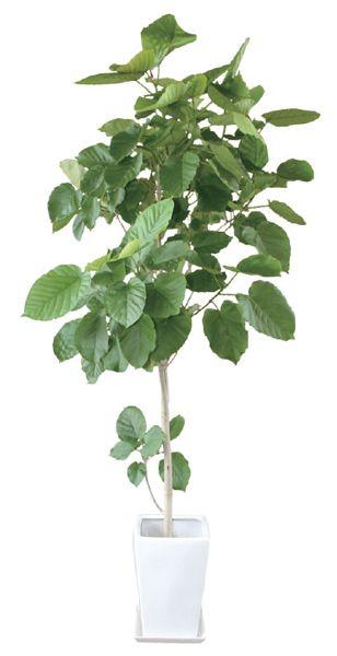 フィカスウンベラータ 観葉植物 陶器鉢 プランター・皿付き*1.8×0.7(10号) 日なた 常緑中高木