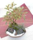 季節の苔 創作 寄植え小鉢シリーズ(ひねり和鉢)【寄せ植え】