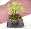 季節の苔 創作 寄植え小鉢シリーズ(信楽小鉢)【寄せ植え】