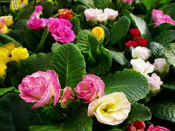 八重咲きジュリアン4株セット/バラのようなフリル咲きの花が可愛らしい品種で春まで次々と楽しめる花です。/花苗/販売/通販/種類