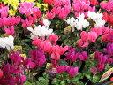 ガーデンシクラメン4株セット♪コンテナガーデンやプランター等によく合う花です【鉢花】/販売/通販/種