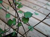 ワイヤープランツ スペード 葉の形がスペード型をした面白い品種のワイヤープランツ