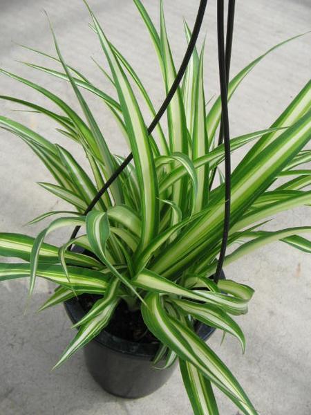 オリヅルラン4号 鉢植え 観葉植物 斑入りの葉が綺麗で美しい人気の植物 子株がたくさん増え…...:auc-gifuryokuen:10000094