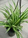 オリヅルラン4号 鉢植え 観葉植物 斑入りの葉が綺麗で美しい人気の植物 子株がたくさん増えて簡単に増やせる植物 グリーン 販売 通販 種類