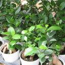 ミニ ニンジンガジュマル 3号 鉢植え 観葉植物 ニンジンに似た株元が面白く丈夫で育てやすい ガジュマル 観葉植物 販売 通販 種類