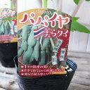 トロピカルフルーツ パパイヤ 美らタイ苗 果樹 3.5号サイズ ポット苗で高さ30cm