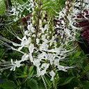 ネコのヒゲ 花苗 涼しげなネコのヒゲのような白い花 ホワイト