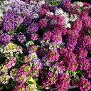 スイートアリッサム混色植え3株セット♪色とりどりの花