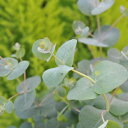 ユーカリ グニー 観葉植物 ハーブ ゆーかり 花粉対策にも効果ユーカリ グリーン 緑 ミドリ