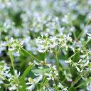 ユーフォルビア ダイヤモンドフロスト 花苗 白い蝶が舞うように咲き誇る寄せ植えガーデニングに最適な花芽付き ホワイト 販売 通販 種類