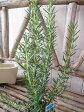 ローズマリー マリンブルー 大苗 ガーデニング寄せ植えアイテムとしても人気の植物 高さ40cm 初任給 10P27May16
