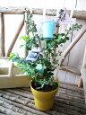 実付ブルーベリー 2品種植え 5株号サイズ 鉢植え 高さ50cm