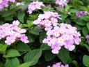 コバノランタナ パープル 苗 ハンギングや寄せ植えにも合わせやすい植物 花芽付