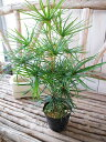 コウヤマキ 4号ポット苗 日本原産 世界三大造園木の一つで木曽五木のひとつ 高さ50cm 10P03Dec16