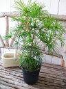 コウヤマキ 5号サイズ鉢 送料無料 日本原産 世界三大造園木の一つで木曽五木のひとつ 高さ50cm