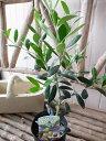 オリーブ アルベキーナ 大苗 シンボルツリーにも人気 高さ40センチ