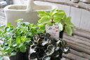 ペペロミア 苗 3種類セット 3号サイズ ポット 室内 観葉植物 販売 通販