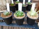多肉植物 ハオルチア 3株セット タニクショクブツ Haworthia 販売 通販 多肉女子