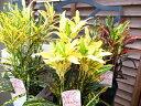 クロトン3鉢セット 3.5号サイズ 高さ15cm 観葉植物 葉は光沢があり色鮮やかな黄色が魅力 イエロー