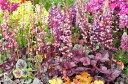 ヒューケラ ドルチェ ツボサンゴ スノーシュクレ カラーリーフとして人気の植物 楽天
