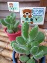 多肉植物 熊童子コチレドン2.5号鉢 タニクショクブツ 楽天